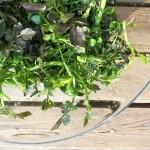 クレソンの栽培方法4選!プランター、水耕栽培など