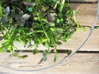 クレソンの4つ栽培方法!プランター、水耕栽培など