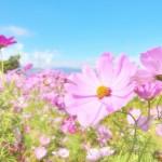 コスモスの花の画像を無料で入手しよう!
