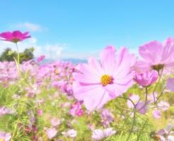 プロの写真家によるコスモスの花画像を無料で入手しよう!