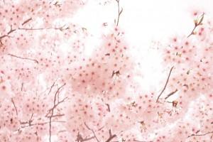 千鳥ヶ淵の桜の開花状況を決める基準は?開花状況の情報を集める方法