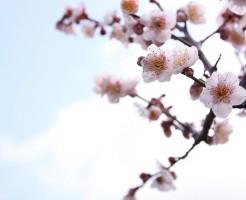 北野天満宮の梅の開花状況を決める基準は?