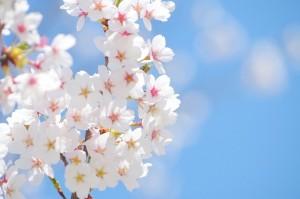 水戸偕楽園の開花状況の発表のタイミングは?