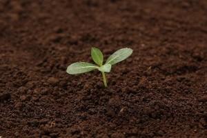 葉大根を育てるのに適した土とは?