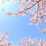 桜の開花状況とは?どうやって決める?